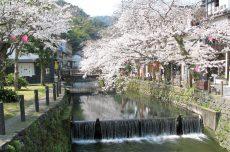 城崎温泉の桜